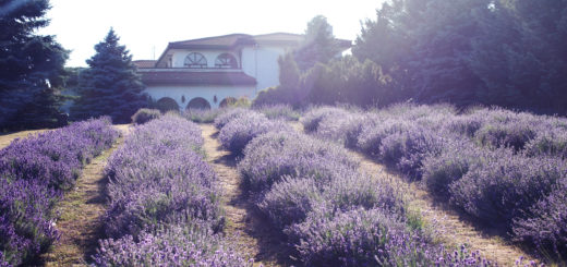 brampton wedding photography mississauga engagement photos lavender field engagement weir's lane lavender field